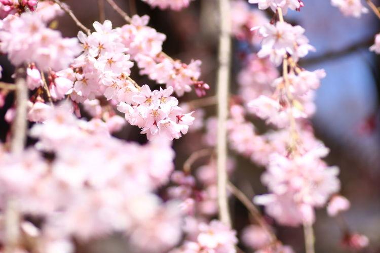好きな垂れ桜🌸😆 貧乏マクロ Nature Nature Photography Macro Photography 桜 Cherry Blossoms Flower Head Flower Tree Branch Springtime Pink Color Blossom Cherry Tree Cherry Blossom Close-up