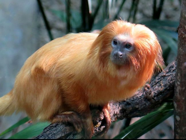 Animals Monky Zoo Animals  Beautiful Animals  Red Hair