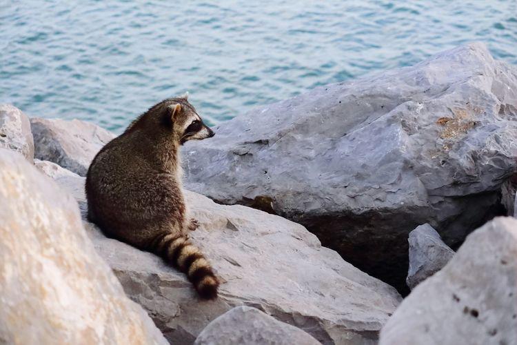 High angle view of raccoon on rock