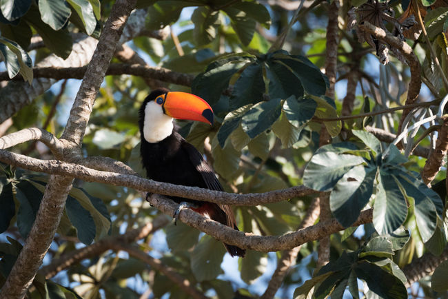 Animal Themes Bird Branch Day No People Outdoors Perching Toco Toucan Tree