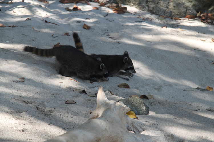 Side View Of Raccoons On Sand