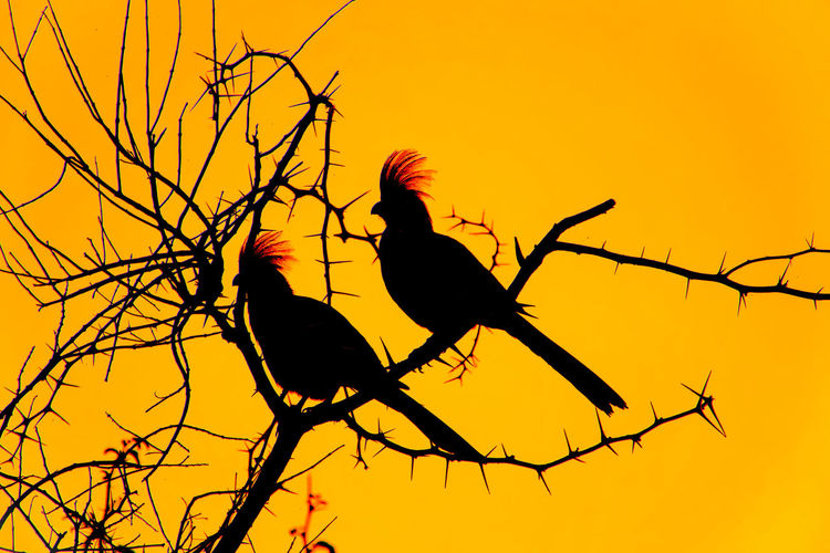 Grey go-away-birds in thorn tree silhouetted against sunset sky Silhouette Thorn Thorn Tree Namibia Africa Sunset Lourie Bird Go-away-bird Go-away Bird Grey Go-away-bird Grey Lourie Corythaixoides Concolor EyeEm Selects Bird Perching Tree Branch Sunset Bare Tree Silhouette Sky Tropical Bird Spiky