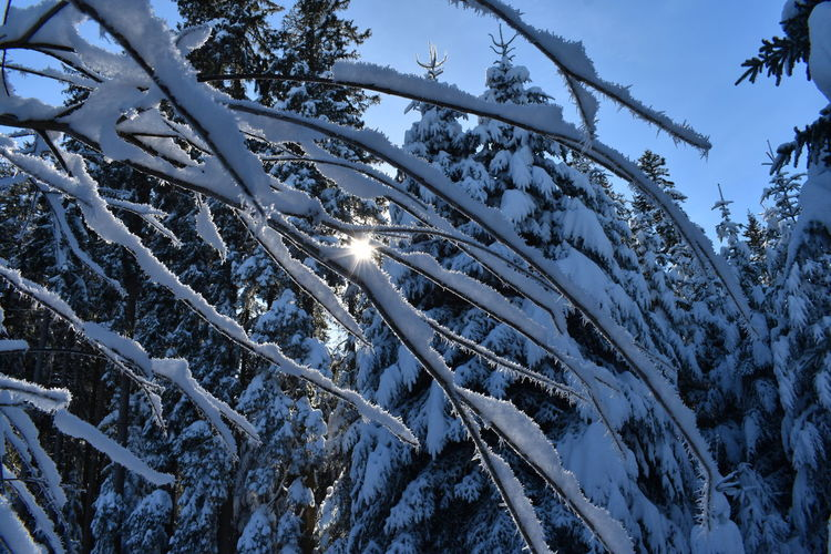 Winter forest with Snow Snow Cold Temperature Winter Tree Plant Beauty In Nature Nature Covering Day No People Outdoors Winter Forest Frost Tranquil Scene