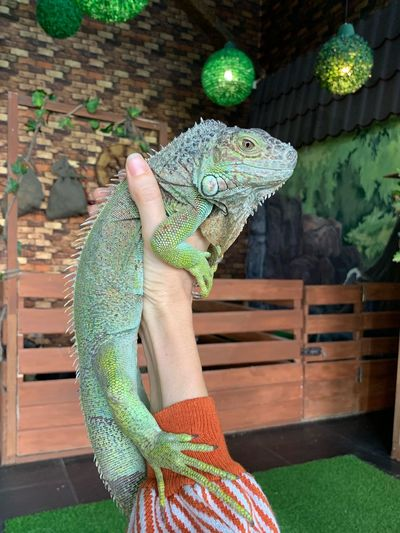 Игуана Reptile Animal Themes Lizard Green Color Animal One Animal Animal Representation