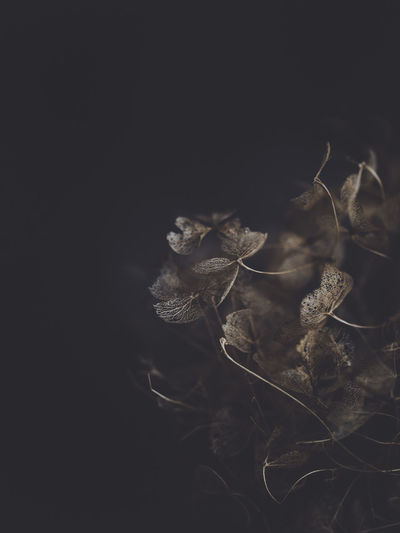 Dark and moody macro dead hydrangea skeleton Close-up Plant No People Dry Fragility Nature Vulnerability  Studio Shot Copy Space Growth Plant Part Black Background Beauty In Nature Flower Indoors  Leaf Freshness Flowering Plant Night Wilted Plant Dead Plant Dried