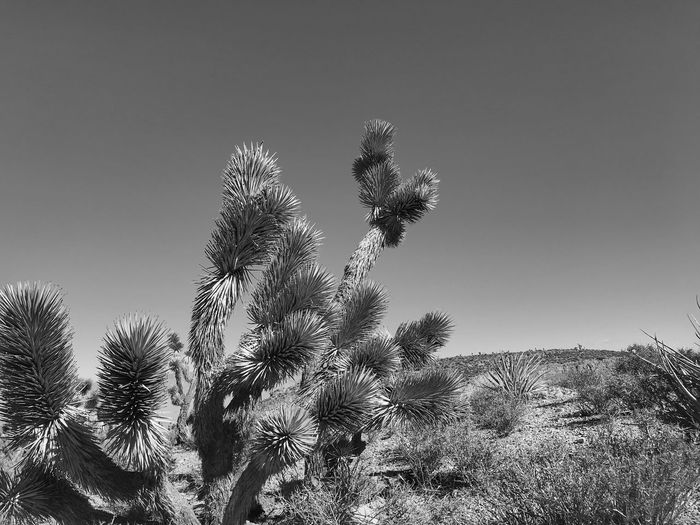 Black-and-white of a Joshua tree against a hill and the sky Black And White Desert Beauty Yucca Hill Views Hillside View Joshua Tree Growth Nature Clear Sky Plant Low Angle View Outdoors No People Close-up Tree Sky Beauty In Nature Day