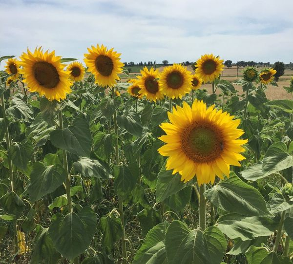 Sunflowers Outdoor Photography Summertime Italy Fields Sun Green Color Yellow Flower