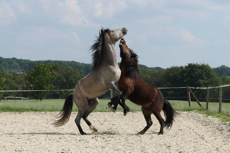 Horses playing, rearing