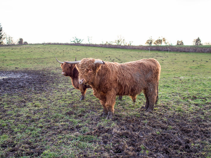 Scottisch highland cattle on the pasture Mammal Animal Animal Themes Domestic Animals Domestic Field Livestock Pets Land Vertebrate Plant Cattle One Animal Grass Environment Clear Sky Nature Landscape Domestic Cattle Sky No People Highland Cattle Outdoors Herbivorous