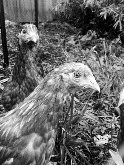 Close-up of chickens