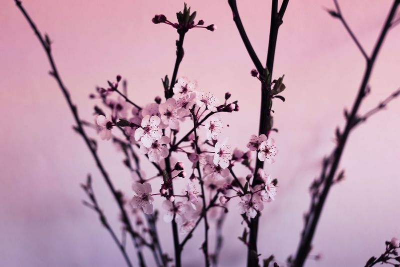 Be My Valentine Beauty In Nature Blossom Branch Close-up Date Day Flower Flower Head Fragility Freshness Growth Love Low Angle View Nature No People Outdoors Pink Pink Color Plum Blossom Sky Springtime Tree Twig Valentine's Day
