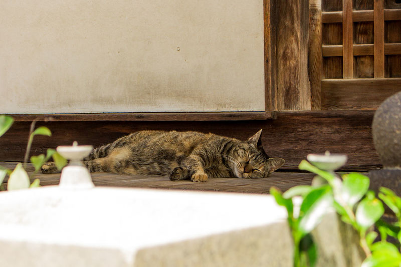 The image of cute cat sleeping on engawa (wooden-floored corridor) in old Japanese temple in Onomichi, Hiroshima, Japan. Domestic Cat Animal Themes Animal Mammal Feline No People Vertebrate Cat Relaxation Pets One Animal Domestic Nature Domestic Animals Undomesticated Cat Sleeping Cozy Nostalgia Kitten KAWAII Cute Adorable Lovely Ginger Stone Material Shinto Shrine Shinto Temple Spirituality Buddhism Japan Onomichi Hiroshima Wooden Corridor Engawa