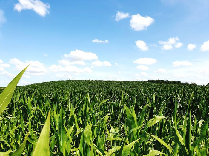 field of corn Cereal Plant Rural Scene Agriculture Corn Field Vegetable Sunlight Crop  Farm Sky Corn - Crop Corn On The Cob Harvesting Sweetcorn Cumulus Cloud Organic Farm