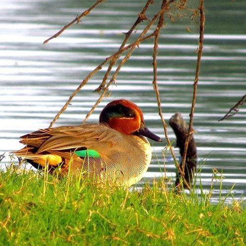 Green winged Teal, TholThol Ahmedabad Gujarat Bird Nature Bestbirdshots Canonsx50 Canon_photos Your_best_birds Pocketbirds Photoarena_nature Igbirds