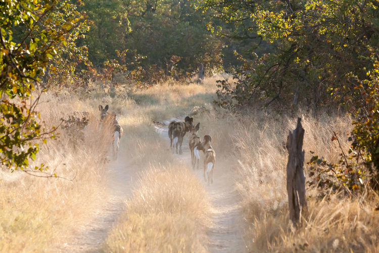 African Wild Dogs Walking On Grassy Field