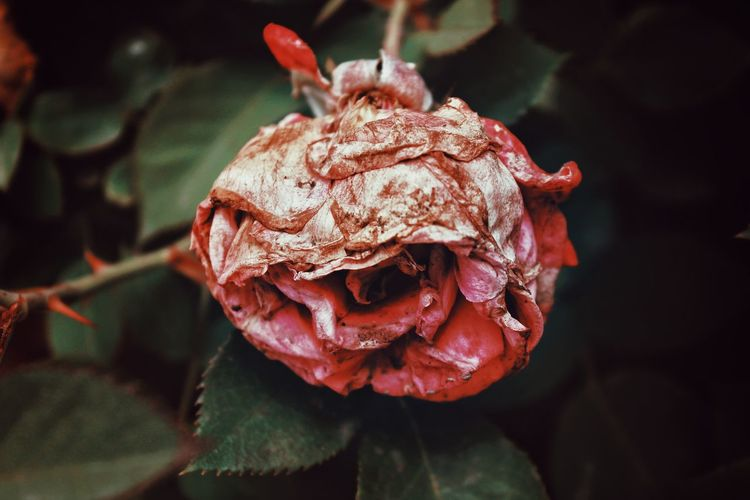 Close-Up Of Wilted Rose