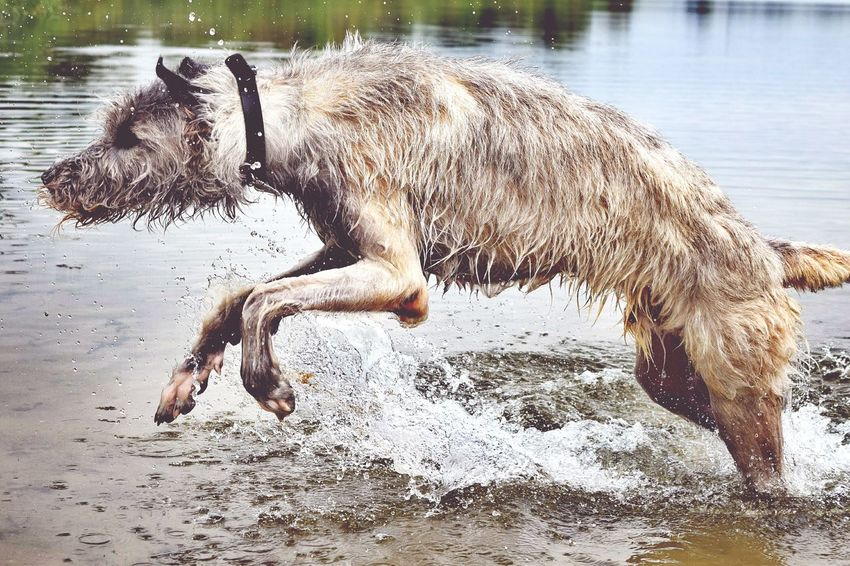 Check This Out Taking Photos Beach Life Waterfun At The Lake Dogs Of Summer Dog Of The Day Dog Of My Life Dog Of Eyeem Dogwalk Dogslife Irish Wolfhound Cearnaigh Enjoying Life Summer ☀ The Places ı've Been Today Showcase August Summer 2016 August2016 How Is The Weather Today? Water_collection