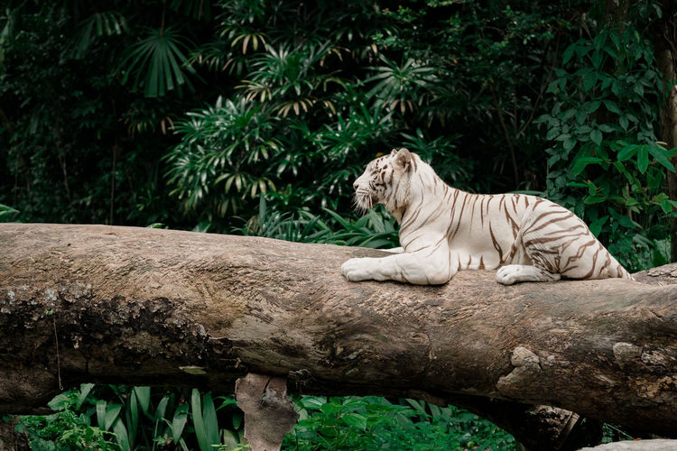 Side view of white tiger sitting on fallen tree in forest