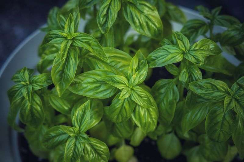 High angle view of fresh green leaves of a basil plant