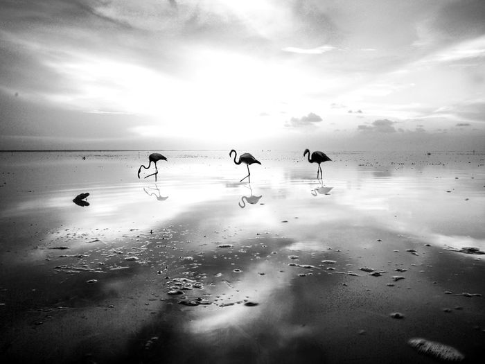 Flamingoes on shore at beach against sky