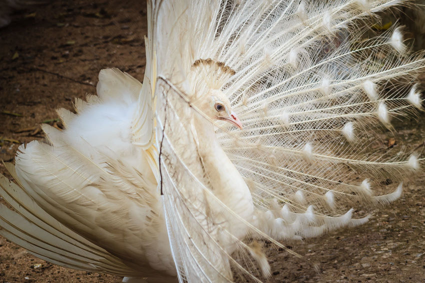 Beautiful white peafowl with feathers out. White male peacock with spread feathers. Albino peacock with fully opened tail. Albino Peafowl White Peacock Albino Albino Bird Albino Peacock Animal Animal Behavior Animal Head  Animal Themes Animal Wildlife Animals In The Wild Bird Close-up Day Fanned Out Feather  Feathers Of A Bird Field Land Livestock Male Peacock Nature No People One Animal Opened Tail Peacock Peacock Feather Peacock Feathers Peacockphotos Peafowl Peafowl Chicks Peafowl Head Peafowl Tail Spread Feathers Vertebrate White Color White Peacock Dancing White Peafowl