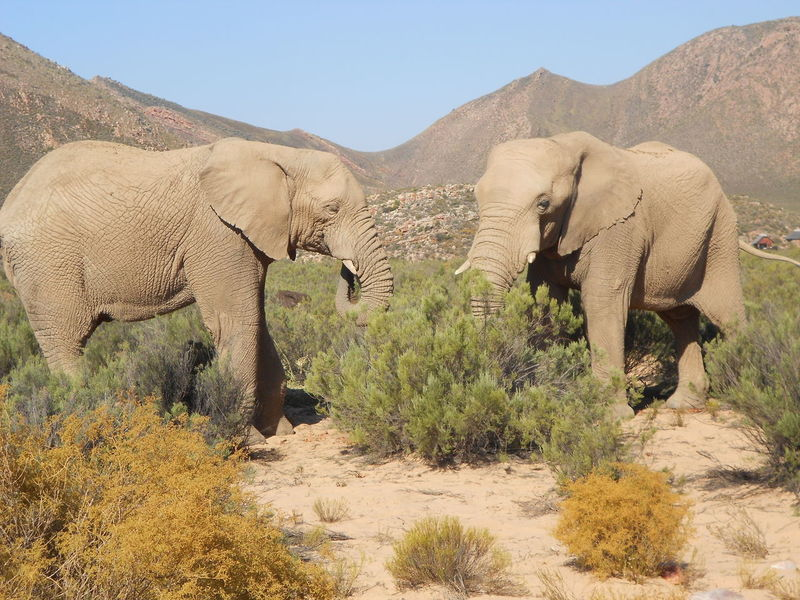 African Elephant Animals In The Wild Beauty In Nature Big Five Elephant Game Drive Nature Outdoors South Africa