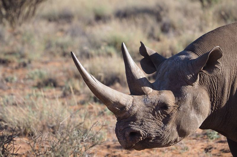 Close-up of rhinoceros on field