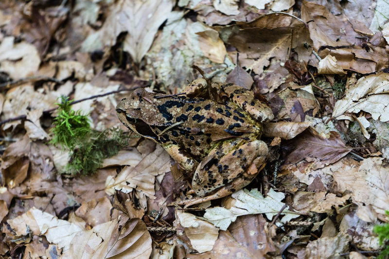 Frog forest brown wild animal black close leaf tree amphibia Salentia Anura Nature Forest Animal Wildlife Animals In The Wild Summer Close-up Animal Themes One Animal Leaf Pine Tree Beauty In Nature Outdoors Day Tree No People Europe Switzerland Hiking Flims-laax