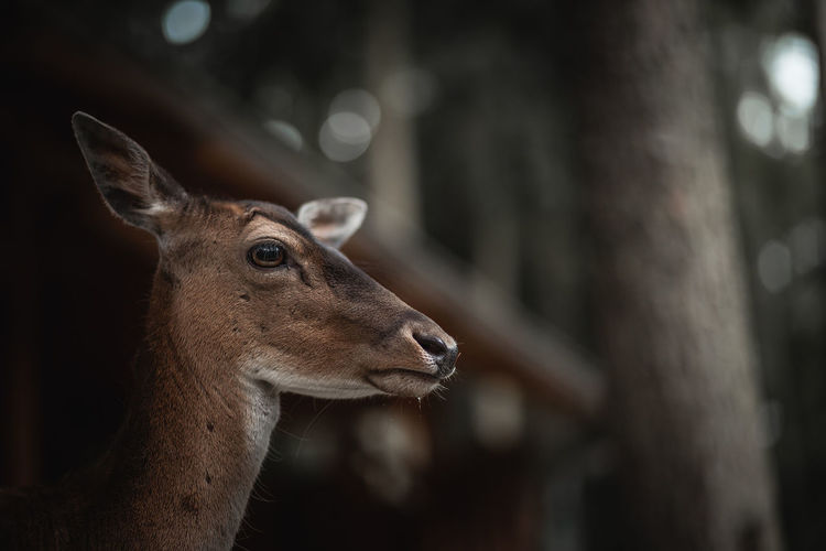 Animal Body Part Animal Neck Animal Wildlife Animals In The Wild Bokeh Brown Close-up Day Focus On Foreground Herbivorous Looking Looking Away Mammal Nature No People One Animal Outdoors Portrait Portrait Photography Profile View Reh Vertebrate