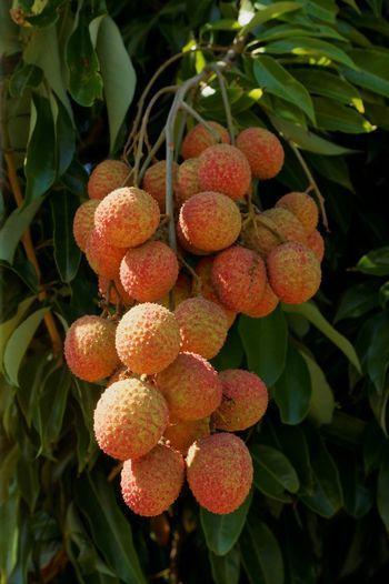 Lechis lychees Tropical Fruits Fruits Red Reunion Island Sonya58