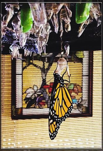 It's a boy! Endurance Strength Migrant Green Crystalists Male Hatching Save The Monarch Butterfly Monarch Butterfly Butterfly - Insect Insect No People One Animal Close-up Day Indoors