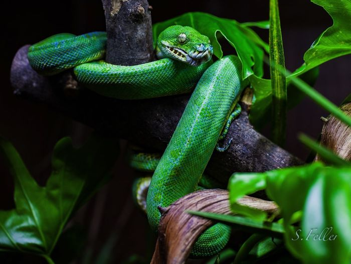 Animal Animal Themes Animal Wildlife Reptile Green Color One Animal Animals In The Wild Close-up No People Nature Poisonous Poison Zoo Zoology Reptile Hamburg Hagenbecks Tierpark Hamburg  Green Colors Snake Amphibian Danger EyeEmNewHere My Best Photo
