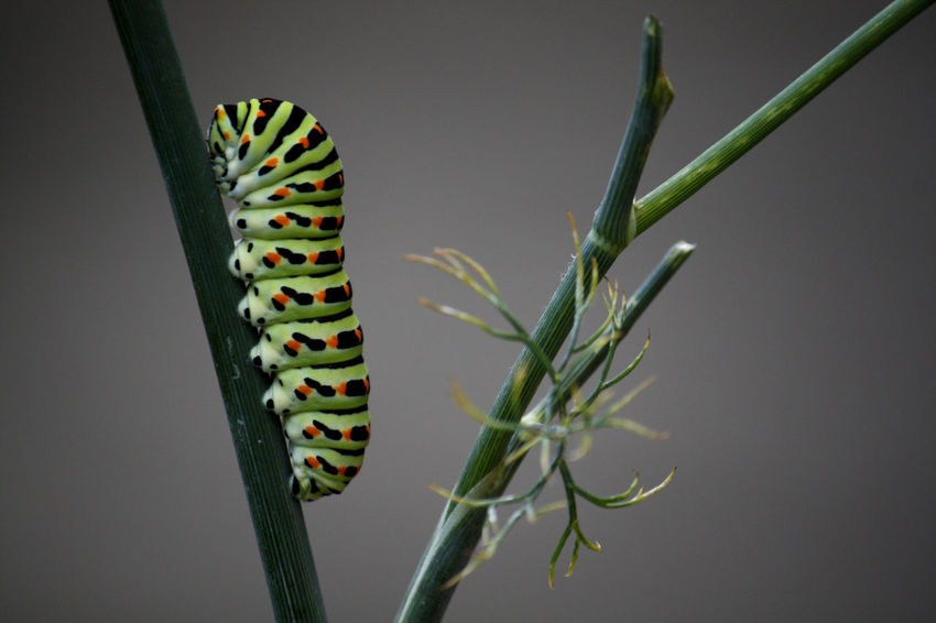 Beautiful Nature Beauty In Nature Beginnings Blurry Background Butterfly Caterpillar Climbing Climbing Plant Close-up Cocoon Dill Focus On Foreground Fragile Fragility Green Green Color Insect Multi Colored Nature No People Outdoors Stem Striving To The Top Twig