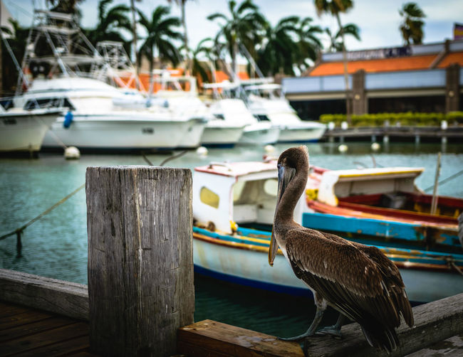 Pelican in the
