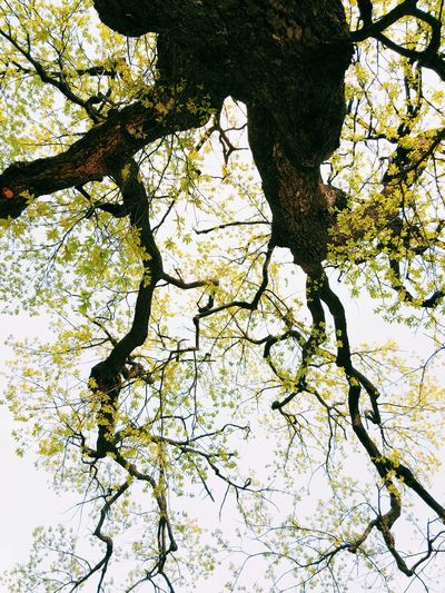 A stretch Nature Trees Gingko Tree Summer