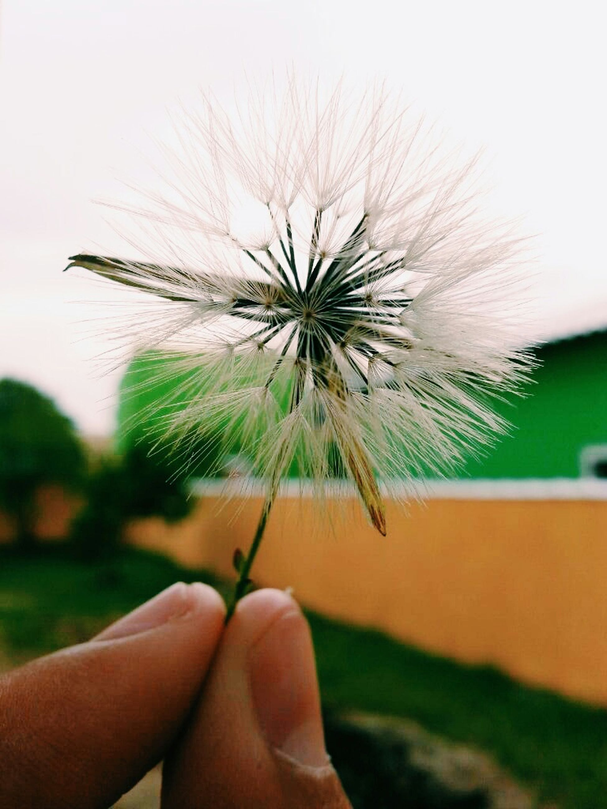 person, flower, holding, dandelion, part of, cropped, focus on foreground, single flower, fragility, human finger, close-up, unrecognizable person, flower head, personal perspective, lifestyles, freshness