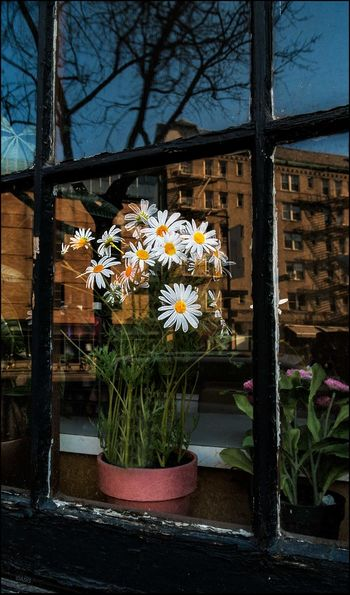 Daisy in the Window - 1/1/17 EyeEm StreetPhotography, NYC Fresh On Market 2017 Hey Ma, Look What I Found! The Journey Is The Destination