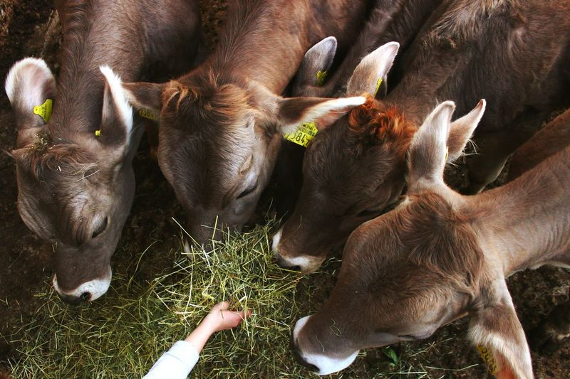 High Angle View Of Cow Grazing