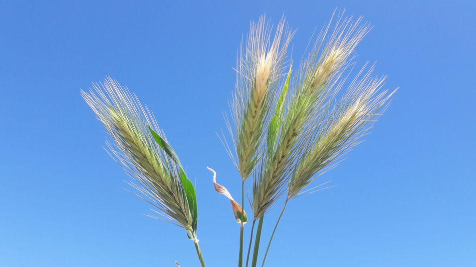 Cereal Plant Blue Nature Plant Growth Agriculture Clear Sky Summer Rural Scene Beauty In Nature Sky Wheat Close-up No People Outdoors Day Benalmádena, Malaga, Spain SPAIN Spaın New On Eyeem Beauty In Nature Green Color Rye - Grain Freshness Flower