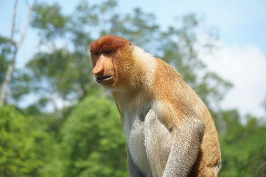 Proboscis Monkey Borneo Animal Themes Animals In The Wild Close-up Day Domestic Animals Focus On Foreground Labuk Bay Malaysia Mammal Nature No People One Animal Outdoors Proboscis Monkey Sabah Sandakan Sepilok Sky Tree