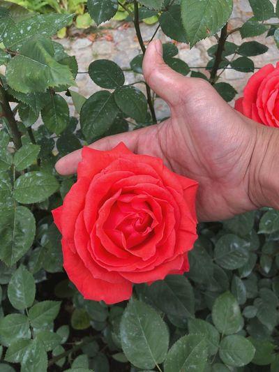 Plant Flower Beauty In Nature Flowering Plant Rosé Plant Part Leaf
