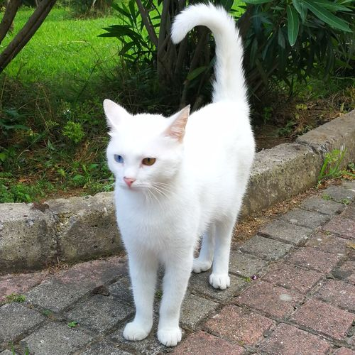 Van cat Cat Cats Cat Lovers Vankedisi Vancat Pets Portrait Feline Domestic Cat White Color