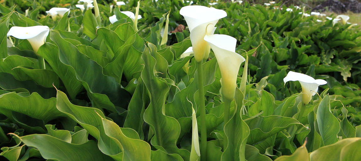 Blooming Calla Field Calla Lily Close-up Environmental Conservation Field Of Flowers Flower Flower Head Fragility Freshness Green Color Green Planet Growth La Réunion  Petal