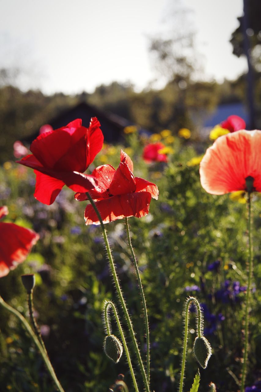 flowering plant, flower, vulnerability, fragility, plant, beauty in nature, petal, freshness, red, growth, focus on foreground, close-up, flower head, inflorescence, field, nature, plant stem, land, poppy, no people, outdoors