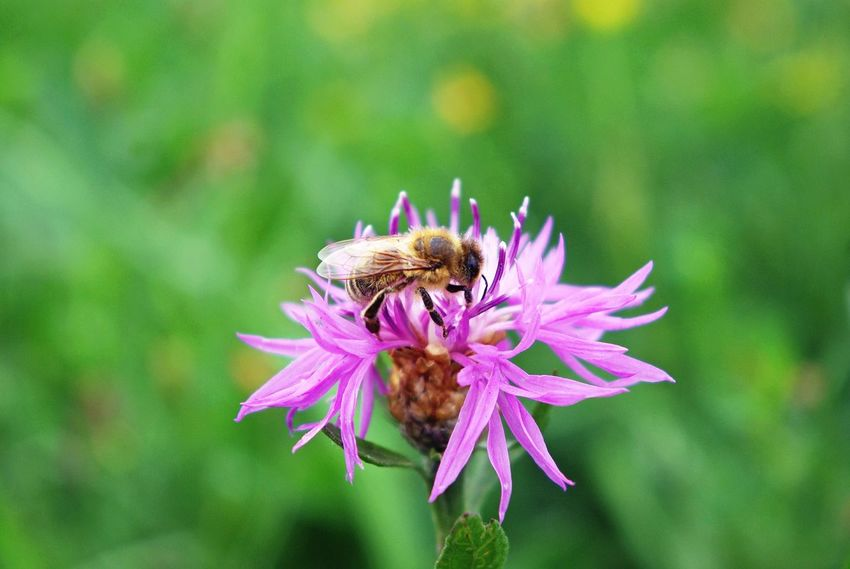 One of the last... Maximum Closeness Insect Animal Themes Flower Fragility Millennial Pink Bee Bees Bees And Flowers Blooming Outdoors Close-up Macro Pollination Plant No People Nature On Your Doorstep Nature Growth Freshness Fragile Nature Photography Green Beauty In Nature Close Up