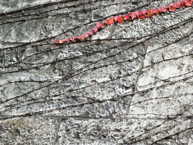 Patterns in nature Pattern Of Nature Patterns Pattern, Texture, Shape And Form Pattern Autumn Colors Autumn Autumn Leaves Virginiacreeper Stone Wall Wall