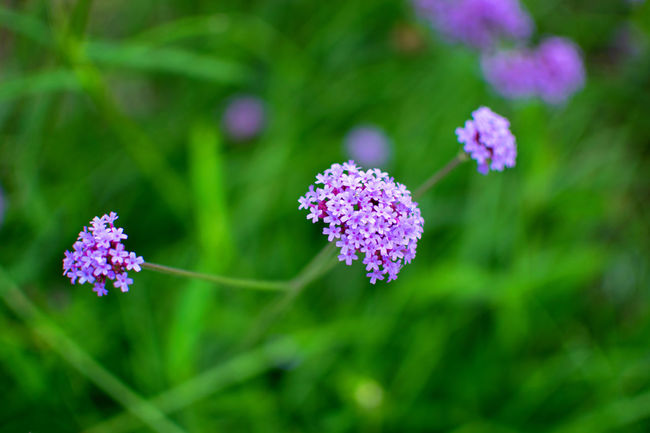 Enjoying Nature Field Verbena Verbena Flower Beauty In Nature Blooming Blooming Flower Bokeh Bokeh Photography Close-up Day Flower Flowers Fragility Freshness Growth Nature No People Outdoors Plant Purple Purple Color Purple Flower Purple Flowers Verbena Bonariensis
