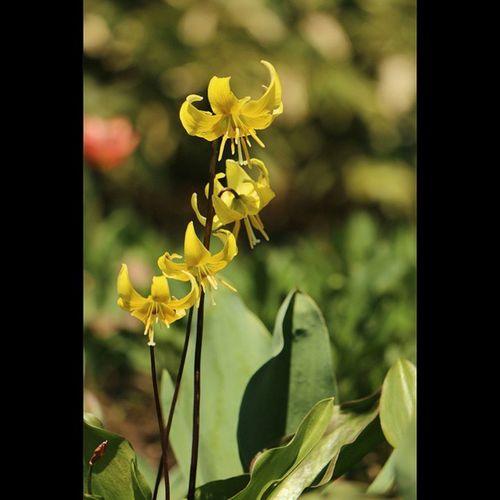 キバナカタクリ キバナカタクリ 黄花片栗 西洋片栗 エリスロニウム 花 植物 やくらいガーデン 加美町 Erythroniumpagoda Erythroniumgrandiflorum