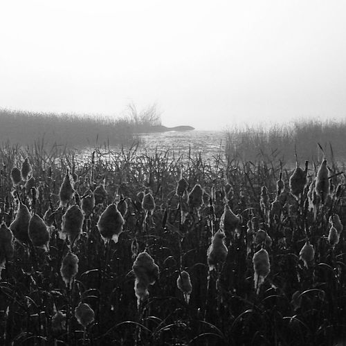 Typha latifolia MADE IN SWEDEN Nature_collection Bw_collection The Great Outdoors - 2015 EyeEm Awards