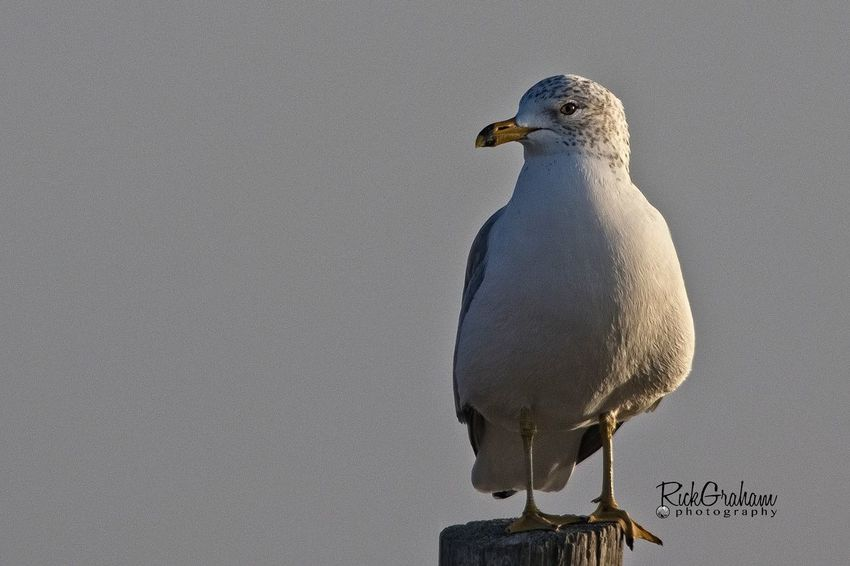 Ring-billed Gull Ring-billed Gull Gull EyeEm Selects Bird Animal Wildlife One Animal Animals In The Wild Animal Themes Perching Day No People Nature Close-up Outdoors
